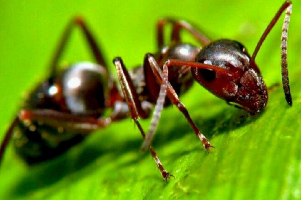 مورچه ها چگونه قهوه می کارند؟